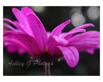 Pink Daisy, nature photography, flower photography
