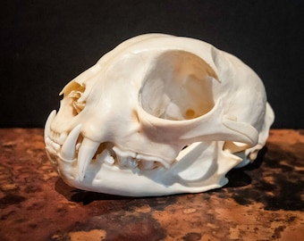 Genuine Bobcat Skull