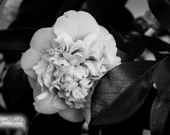 Black and White Flower behind a Leaf - petals flowers garden photography