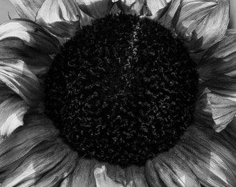 "Sunflower - 16"" x 12"" Photographic Print"