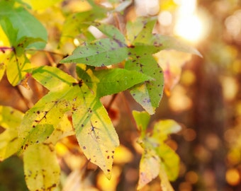 fall stars | nature photography | green | yellow | orange | gold | sunlight | fine art