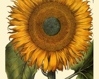 Flower Sunflower Old Antique Fine Art Poster Repro Free S/H in USA