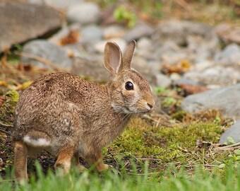 Wild Rabbit Looking Back Outdoors