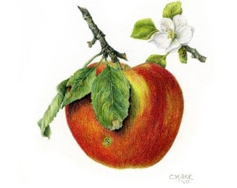 Apple with Blossom ~ unknown variety, 8 1/2 x 8 1/2 botanical art print, colored pencil drawing, apple blossom, apple