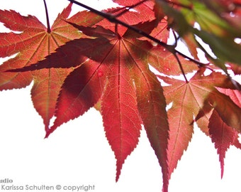 Glowing Leaves, Fall Leaves, Japanese Maple, Nature Photography, Red Leaves, Leaf Closeup, Botanical, Red and White, Macro Photography