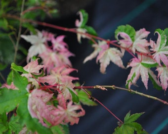 Oridono Nishiki Japanese Maple