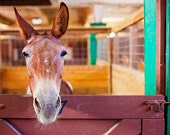 Donkey Photography, Animal Photo, Texas Decor, Ranch Animals, Western Print, Donkey in a Stall, Fort Worth Photography, Animal Photography
