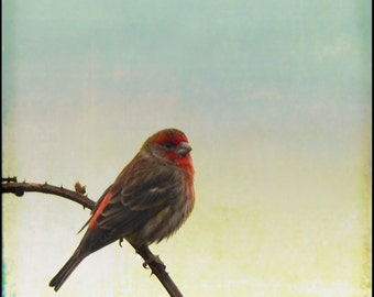 Blue Pink Yellow Sky Perched Red Finch Photograph--Hello Mr. Finch--Fine Art