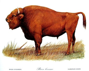 Vintage Animal Print - European Bison - 1970 Vintage Book Page - Naturalist Print - 10 x 8