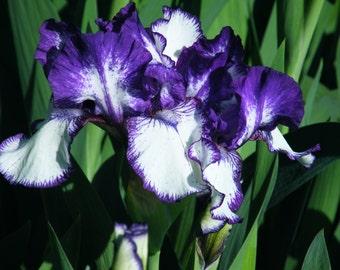 Rare Edition Intermediate Bearded Iris