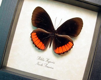 Real Framed Biblis Hyperia Butterfly Shadowbox Display 8296