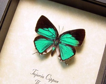 Real Framed Rare Blue Tajuria Cippus Peacock Royal Butterfly 8307