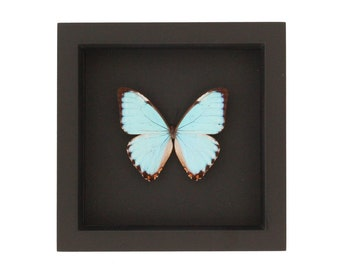 Blue Morpho Portis Butterfly Shadowbox Taxidermy with black background