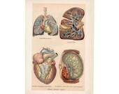 1903 ANTIQUE ORGANS LITHOGRAPH human anatomy original antique anatomy print of internal organs