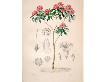 1861 RHODODENDRON tree flower original antique botanical plant print -