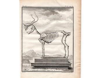 1777 REINDEER SKELETON caribou skeleton original antique animal anatomy print engraving