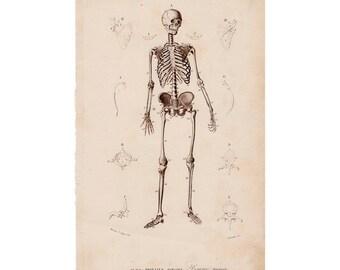 1861 HUMAN SKELETON engraving original antique medical anatomy print