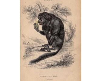 1833 MONKEY APE PRIMATE print original antique animal engraving - the couxio or black saki monkey