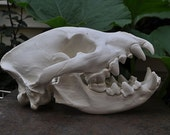 Beautiful Hand Made African Spotted Hyena Skull Replica
