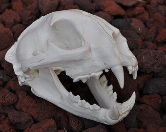 Beautiful Hand Made Mountain Lion Skull Replica