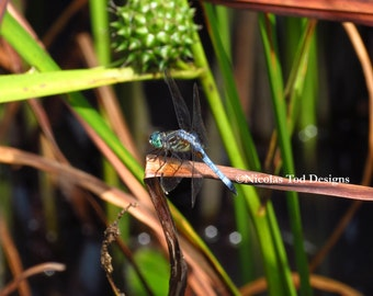 Iridescent Dragonfly Photo