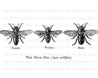 Hive Bees Clip Art Vintage Printable Insect Digital Graphic Transfer Image PNG JPG