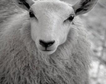 "Sheep 8""x10"" Print"