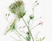 Queen Anne's Lace painting watercolor ORIGINAL by A. Verbrugge, wild flowers painting