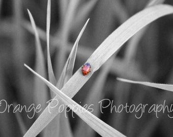 Black and White with Red Ladybug Photograph *choose your size*