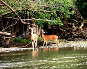 Two Bucks on the Olentangy River Photograph Digital Download