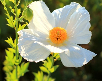 White Hot Summer - Flower Photo Print - Size 8x10, 5x7, or 4x6