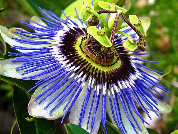 blue passion flower vine 25 seeds passiflora caerulea. Black Bedroom Furniture Sets. Home Design Ideas