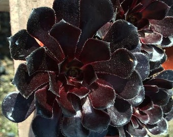 Succulent Plant. Black Rose Zwartkop. Deep purple coloring of this beautiful rosette is almost black.