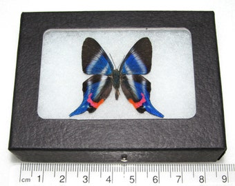 Real red white blue peruvian dysonii riodinid framed butterfly insect