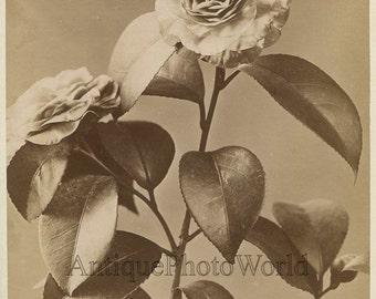 Camellia flower antique floral albumen still life art photo by Alinari Italy