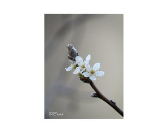 Blossom print onto canvas or for wall art. Buy on line and download instantly.