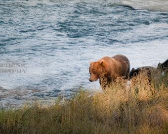 Brown bear sow & cubs walk the rivers edge, Bears, Brown bear, Cubs, Nature, Wildlife, 8x10 Photograph, Alaska, Photograph