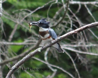 Nature Photo of a Belted Kingfisher with a Fish in it's Beak
