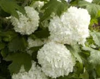 Eastern Snowball Bush - Live Plant - Quart Pot