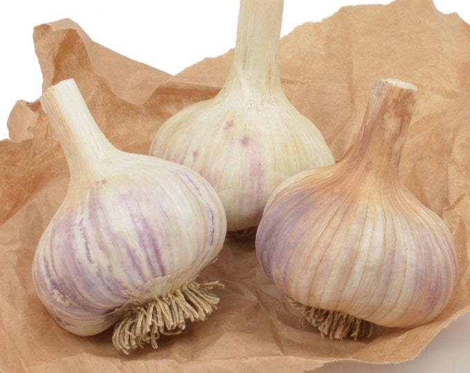 Romanian Red Garlic Bulbs Organic Grown Gourmet - 3 Bulbs For Fall Planting or Cooking