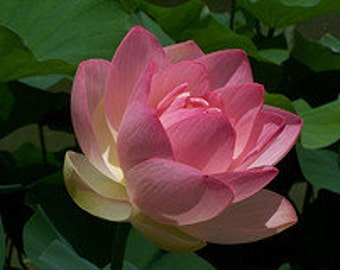 Pink Lotus Abs Organic Essential oil 5ml