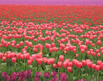 Pink and Purple Tulip Field (Art Prints available in multiple sizes)
