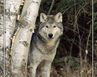 Colorado - Wolf in Forest (Art Prints available in multiple sizes)