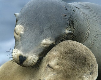 Sea Lions Cuddle (Art Prints available in multiple sizes)