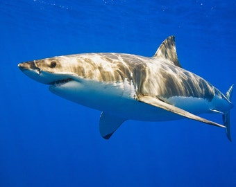 Great White Shark (Art Prints available in multiple sizes)