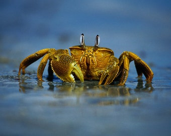 Crab on Beach (Art Prints available in multiple sizes)