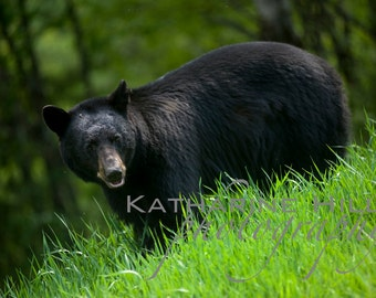 Black Bear, BC Canada, Colour Photograph, Animal Wall Art
