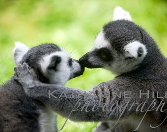 Lemur Kiss, Colour Photograph, Animal Wall Art