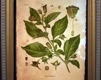 Vintage Deadly Nightshade - Nightshade Poisonous Plant Illustration- Vintage Art Print on Tea Stained Paper - Vintage Art Print