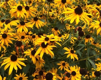 Black Eyed Susan Flower Essence